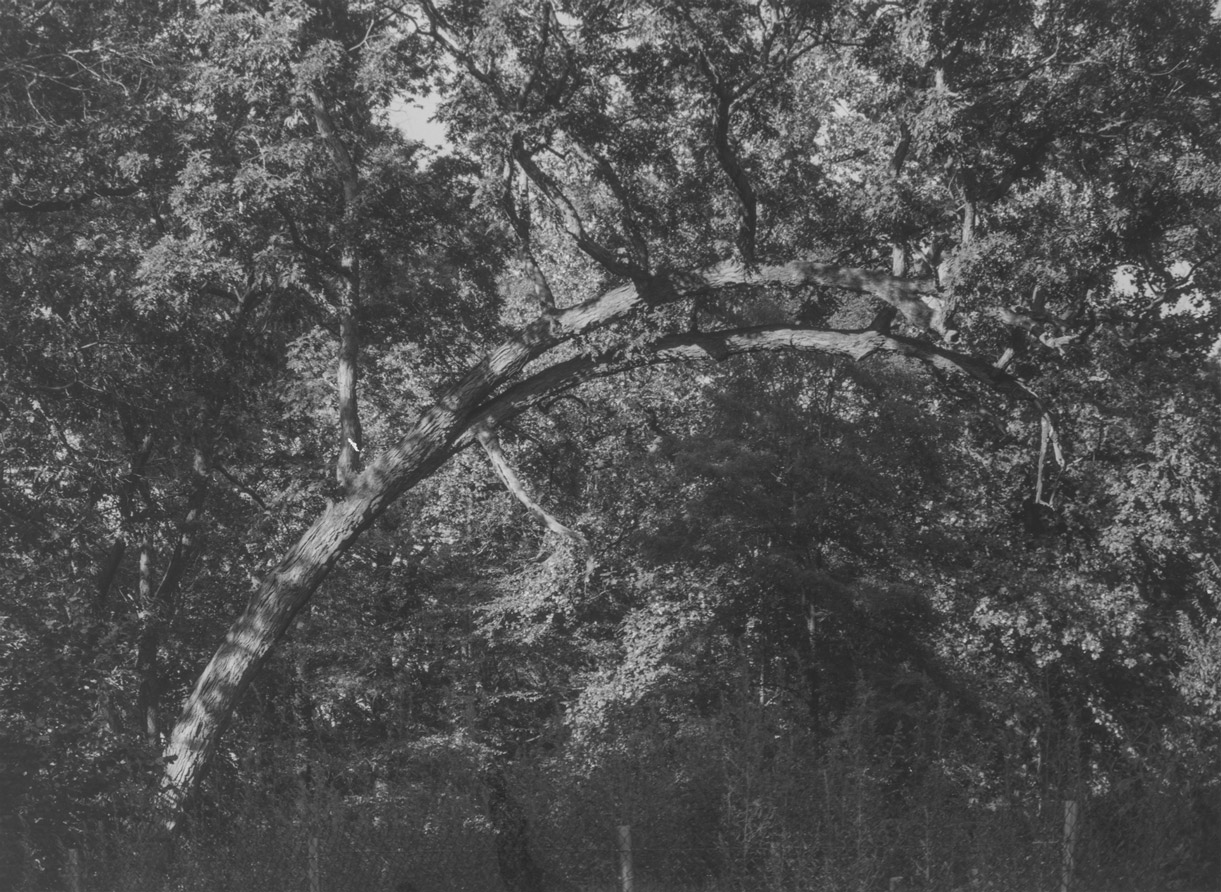 A silver gelatin print by Roy DeCarava, titled Curved branch, dated 1994.
